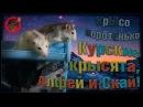 О Подселение не вселяемых, или курские крысята и Скай. Грустный выпуск. Fancy Rats