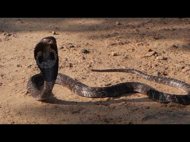 2017-12-25 - Шри-Ланка, кобра