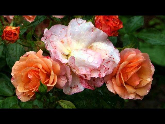 Розы и орнамент