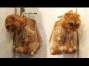 「かわいい猫」 笑わないようにしようとしてください - 最も面白い猫の2