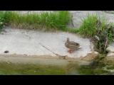 Дика качка на озері в броварському парку відпочинку