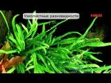 Таиландский папоротник, узколистный, винделов, содержание в аквариуме, размножение