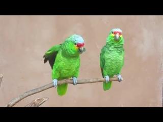 Попугаи - Харе Кришна, Хариии бол!