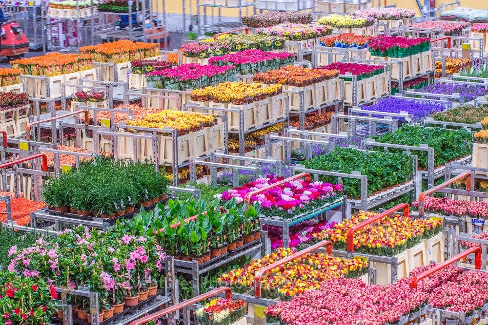 Цветы оптом с голландии, цветов