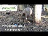 Baby fox buries his new toy