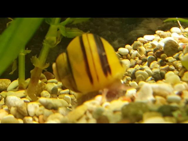 Улитка кушает корм рыбок. аквариум 30 литров