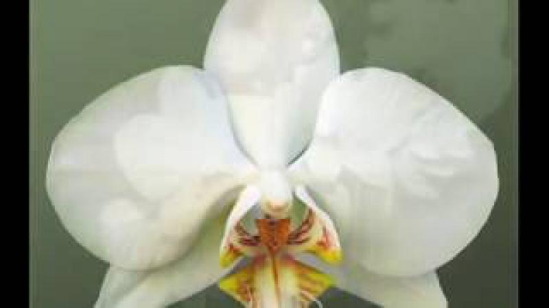Сорта фаленопсисов - цвет БЕЛЫЙ (White phlaenopsis catalog)