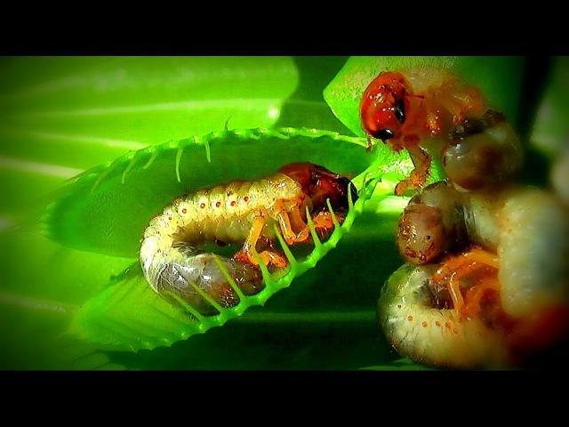 Дионея Венерина мухоловка Venus flytrap Venusfliegenfalle