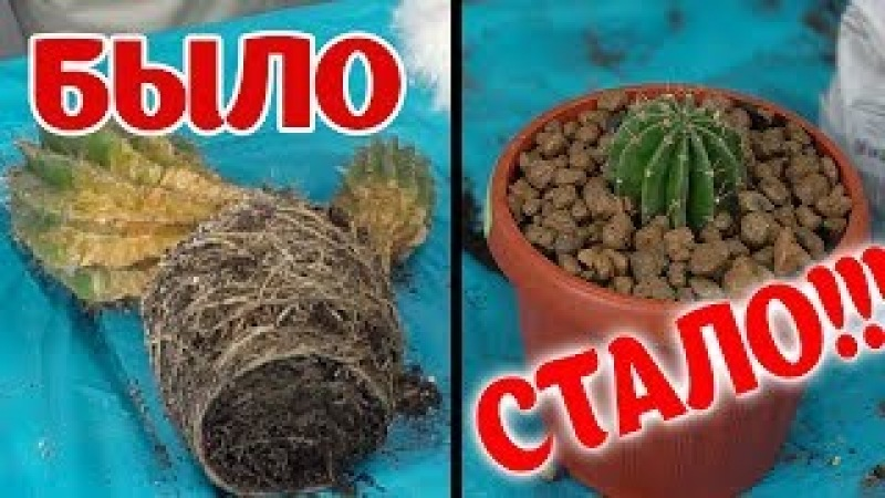 Как спасти кактус от сухой гнили и правильно его укоренить? Пересадка кактуса