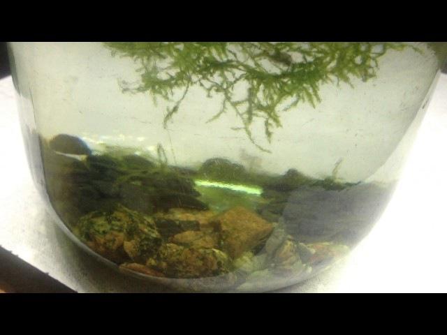 Нано аквариум. Креветки вишни (cherry, неокардин) в банке?