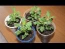 Шикарные хризантемы – шарики Как вырастить хризантему мультифлору из черенка