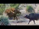 Буйволы отбили слонёнка у львов
