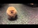 Tiny Dog Barking