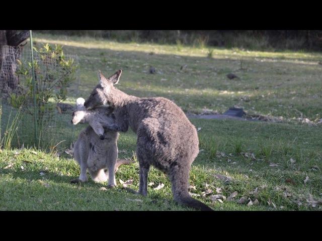 Australian Wildlife: Affectionate Kangaroo Mother