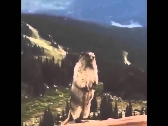 Screaming marmot (Орущий Сурок)
