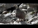 Caucasian Snowcock / Кавказский улар / Tetraogallus caucasicus