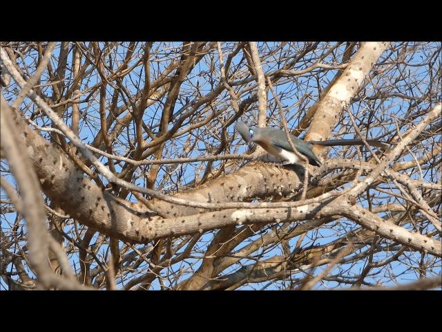 Crested Coua / Хохлатая мадагаскарская кукушка / Coua cristata