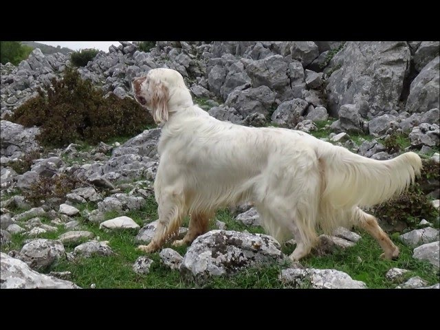 English setter GRAND TRAILER ZICKO