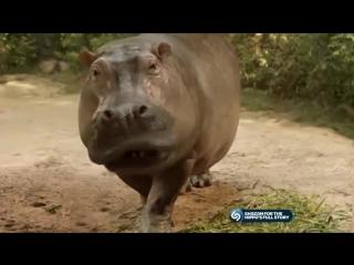 Beat boxing Hippo goes dubstep ! wub wub.mp4