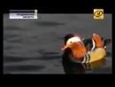 Утку-мандаринку обнаружили орнитологи в Лиде