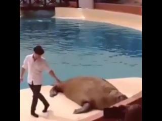Морж танцует