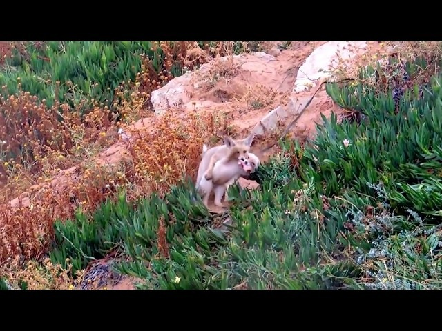 Foxes cubs fighting