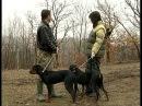 Обучение на българско гонче за лов на глигани