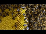 Risking life for honey - Forces of Nature with Brian Cox Episode 1 - BBC One