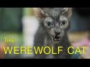 Werewolves Compete in Cat Show! - Werewolf Cats in TICA Cat Show - Lykoi Cat Breed Debuts - Werecats
