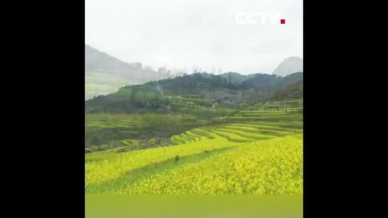 Пышно зацвел рапс в уезде Вэнъань
