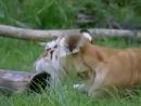 Тигрица и тигр-альбинос и их котята