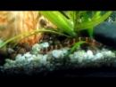 Акантофтальмус Кюля аквариумная рыбка. Содержание и уход
