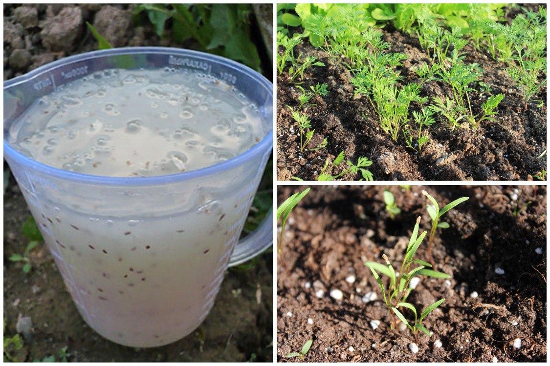 Посев семян моркови с помощью клейстера