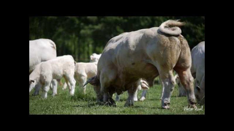 Vaches Charolaise Blonde d'Aquitaine Limousine Parthenaise Rouge des Près Bovin Bétail