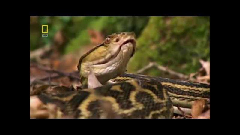 Самые опасные животные в мире Континентальная Азия. Документальный фильм National Ge...