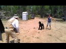 Slash the schutzhund poodle in protection phase Guard in the blind