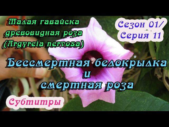 МГДР (Argyreia nervosa) №11: Бессмертная белокрылка и смертная роза [субтитры]