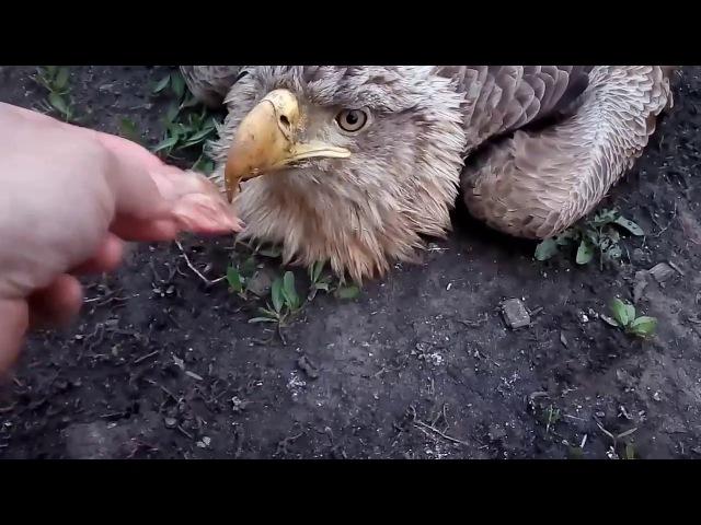Орлан белохвост, раненый!