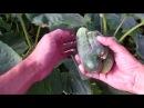Выращивание огурцов урожай 2017 / удобрение, полив, уход за огурцами