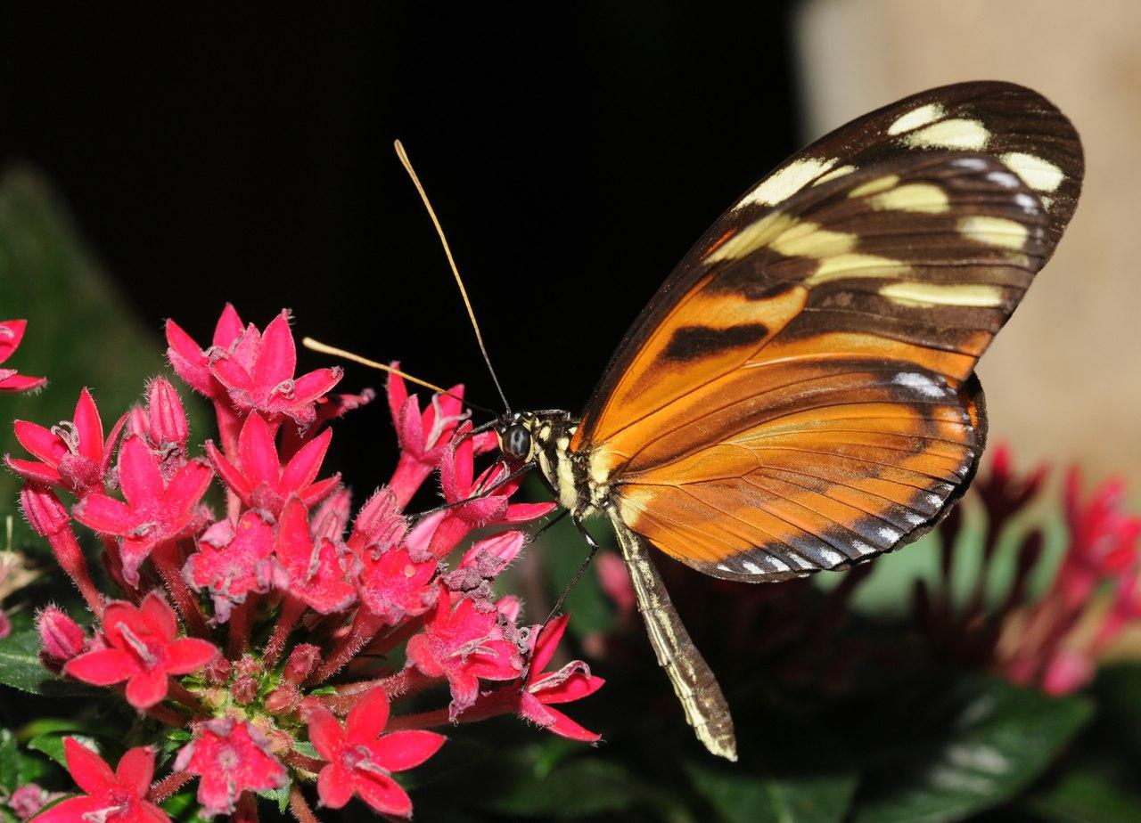 бабочки геликониды