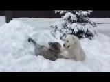 Ничего необычного, просто алабай с тигром играют в снегу....