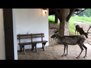 Северные олени на базе отдыха Загородный клуб