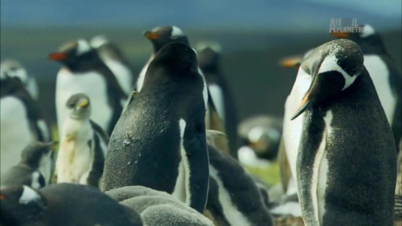 Неизведанные острова - Фолкленды - Пингвиний рай