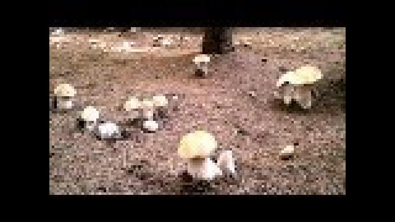 Грибники охренели! Ведьмин круг белых грибов! Pickers ohreneli! Witch's circle of mushrooms!