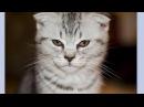 Знакомьтесь мои шотландские котята