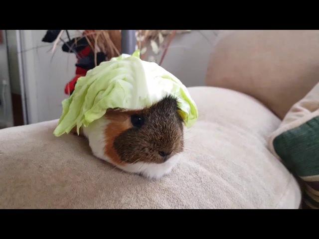 Guinea pig: cabbage glutton. Морская свинка: Капустный обжора