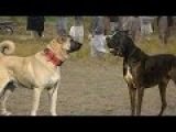 Kangal vs Bully Kutta - Ultimate Clash