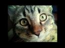 Смешная И Веселая Кошка Дуська 105 / СеменАлиса