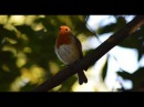4 Hours of Glorious Birdsong | Robin Singing - Sounds of Nature