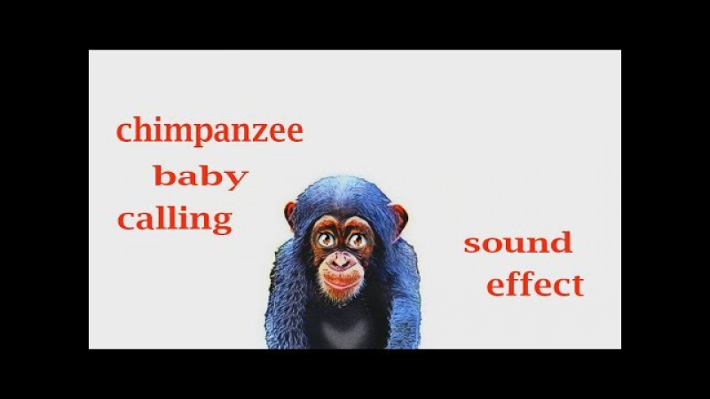 How A Chimpanzee Baby Calling Sound Effect Animation